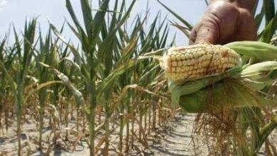 Photo of Define Segalmex arranque de programa de apoyo a soberanía alimentaria