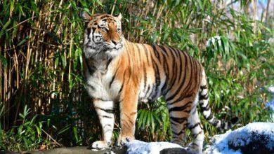 Photo of Siete felinos más del zoológico del Bronx dan positivo a COVID-19