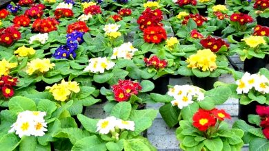 Photo of Venta de ornamentales cae estrepitosamente, piden rescate