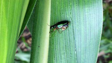 Photo of Alertan productores de Amilcingo sobre posible plaga; ataca plantación de maíz