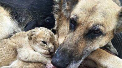Photo of Perrita adopta a dos cachorros de león que fueron rechazados por su madre