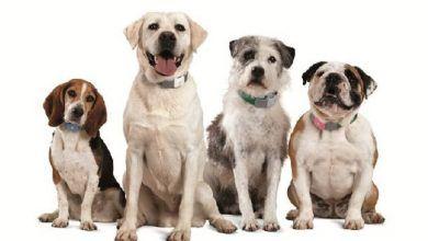 Photo of Conoce las diferencias entre los perros de raza pequeña, mediana, grande y gigante