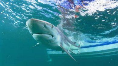 Photo of Tiburones, en peligro por unas vacunas contra el Covid-19: ONG
