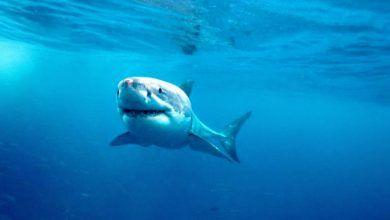 Photo of Encuentran un enorme tiburón blanco de más de una tonelada