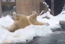 Resultado de imagen de Blizzard, el oso polar que disfruta la nevada en EUA